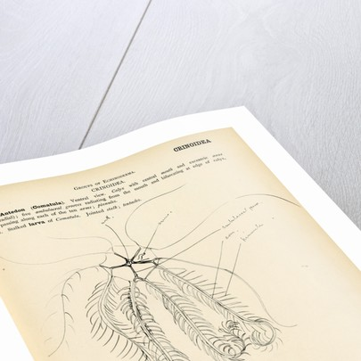 Antedon by Henry Hallett Dale