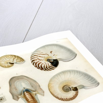 Nautilus specimens by Unknown
