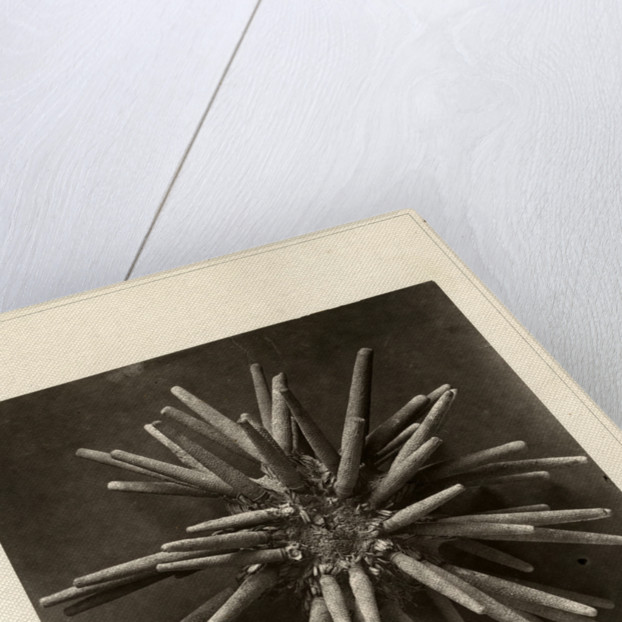 Slate pen sea urchin by American Photo Relief Printing Company