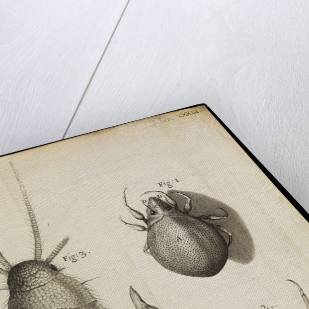 Microscopic views of a black mite, a 'crab-like' insect and a silverfish by Robert Hooke