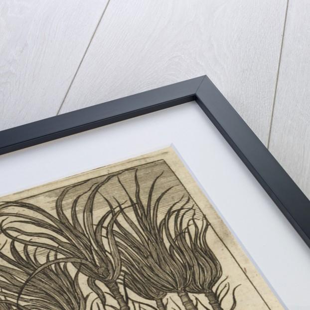 'Sugar canes' by Wenceslaus Hollar