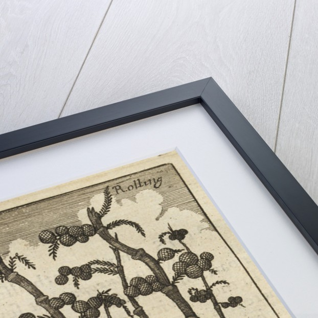 'Bamboes' [Bamboo] by Wenceslaus Hollar