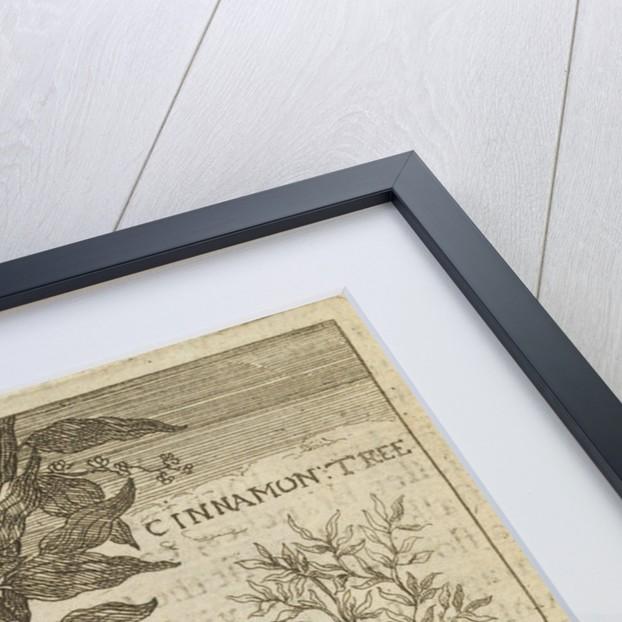 'The Cinnamon Tree' by Wenceslaus Hollar