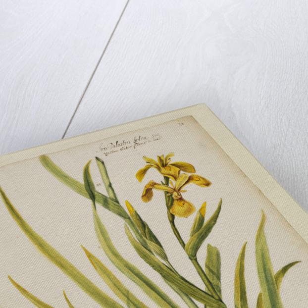 Yellow flag iris by Richard Waller