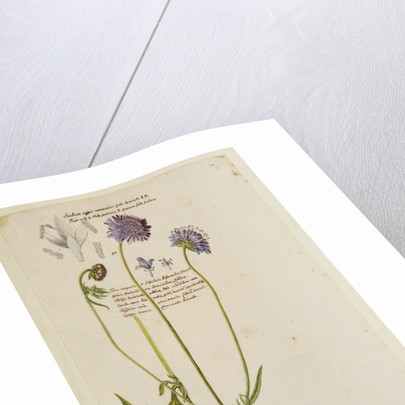Common field scabious by Richard Waller