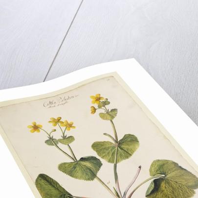 Marsh marigold by Richard Waller