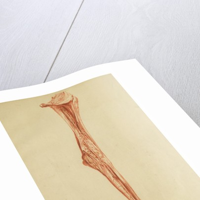 Anatomical study of leg and foot by Andreas van Rymsdyk