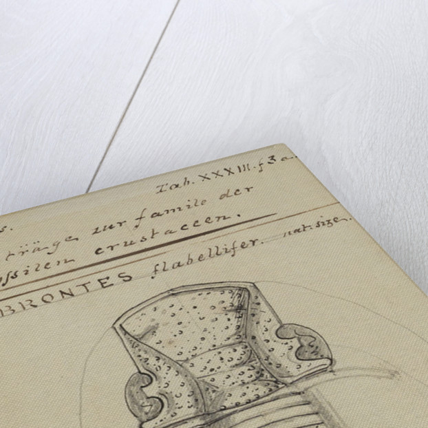 Brontes flabellifer, species of trilobite by Henry James