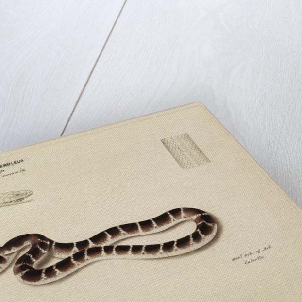 Common krait by Annada Prasad Bagchi