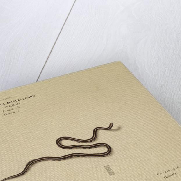 MacClelland's Coral Snake [?] by Annada Prasad Bagchi