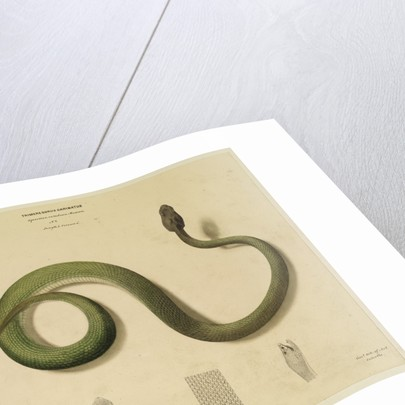 Pit viper[?] by Hurrish Chunder Khan