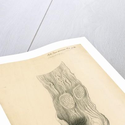 'Adjutant or Argala' [gizzard] by John Howship