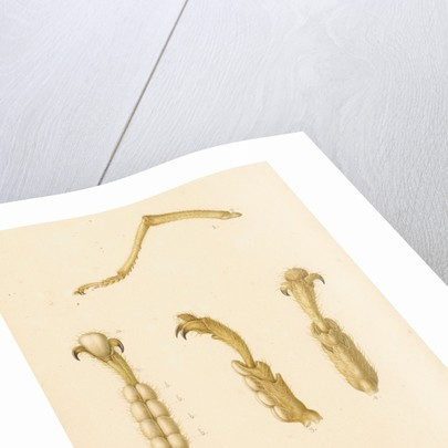 Abyssinian cricket legs by Franz Andreas Bauer