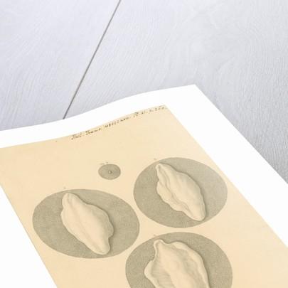 Human ovum by Franz Andreas Bauer