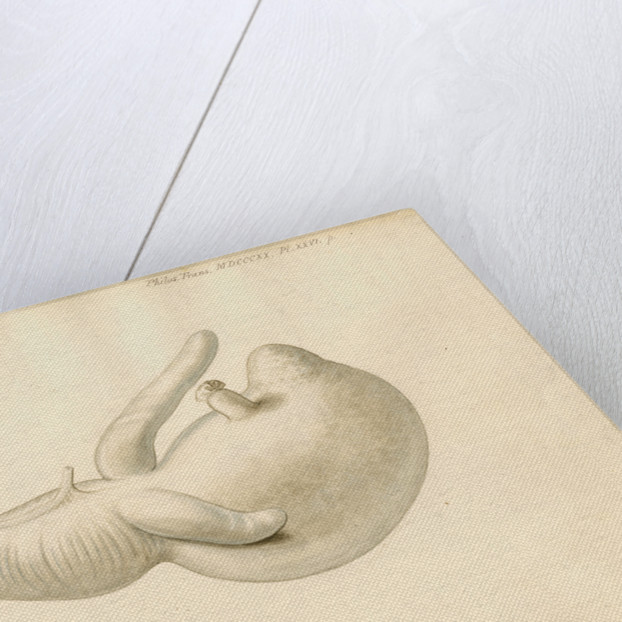 Stomach of the dugong by William Clift