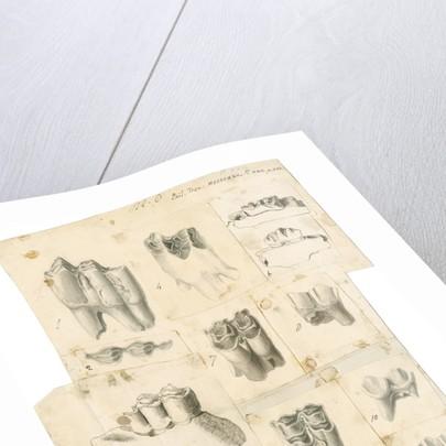 Fossil teeth of oxen, deer and elk by Thomas Webster