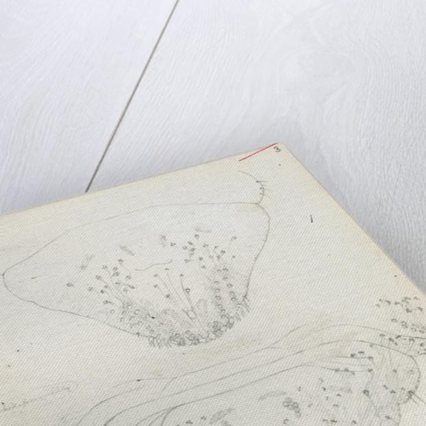 Posterior body parts of Aspidiotus aurantii, Aspidiotus ficus and Aspidiotus dictyospermi by Robert Newstead