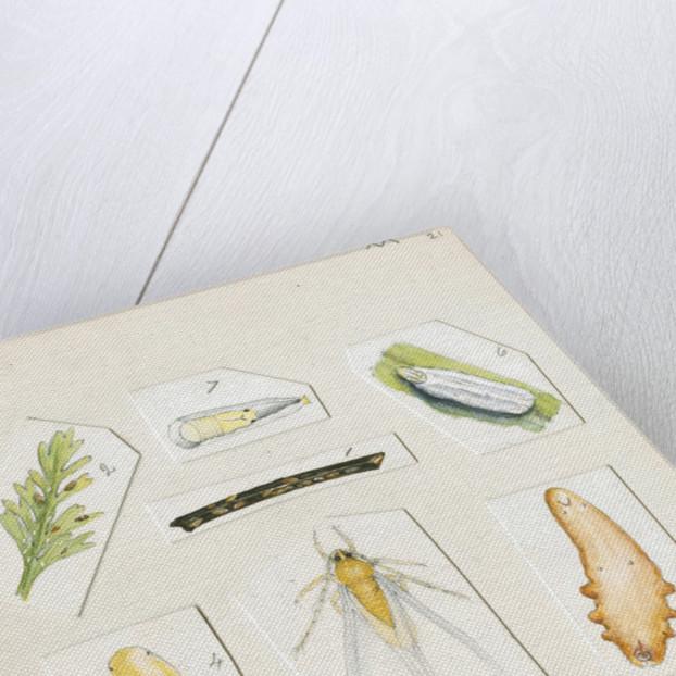 Chionaspis aspidistrae by Robert Newstead