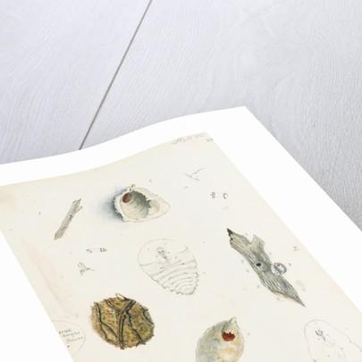 Chionaspis biclavis, Chionaspis aspidistrae and Chionaspis salicis [Willow scale] by Robert Newstead