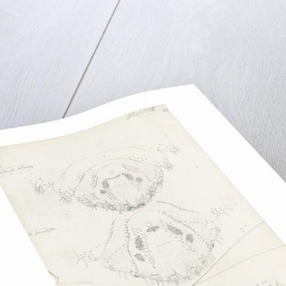 Posterior body parts of female Mytilaspis pinnaeformis, Mytilaspis pomorum [Mussel scale] and Mytilaspis ficuus by Robert Newstead