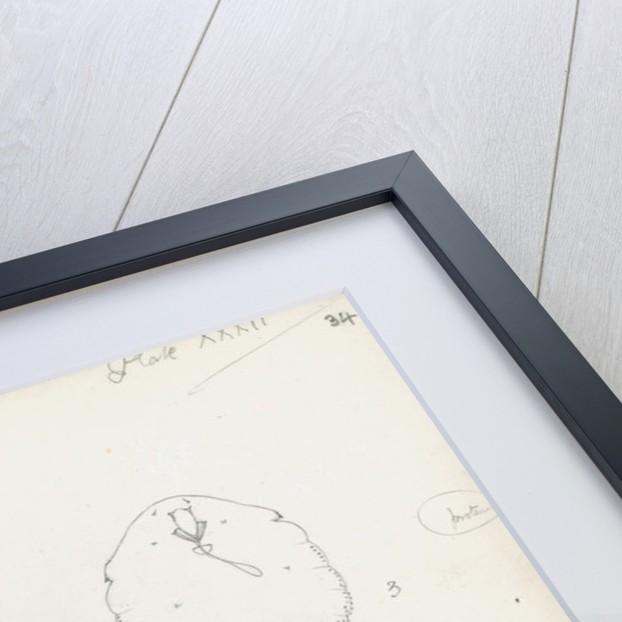 Posterior margins of Parlatoria pergandii [Chaff Scale], Parlatoria proteus [Proteus scale] and Parlatoria zizyphi [Black parlatoria scale] by Robert Newstead