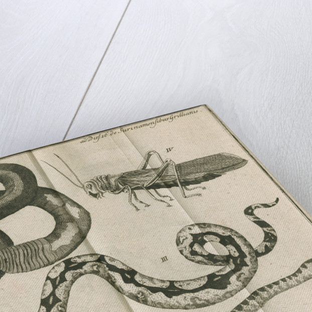 Snakes and a cricket from Linnaeus's 'Academic delights' by Anonymous