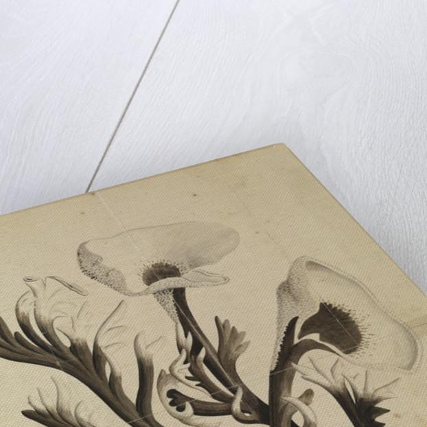Stag's Horn Fungus by Georg Dionysius Ehret