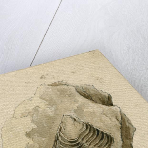 Fossil shell 'Homonolatus knightii' by Anonymous