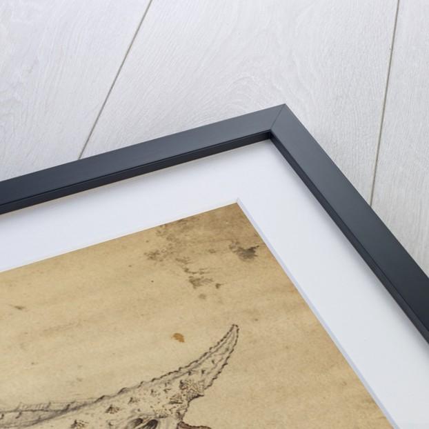 Longnose batfish by Henry Hunt