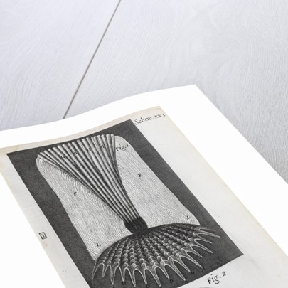 Microscopic views of fish scales by Robert Hooke