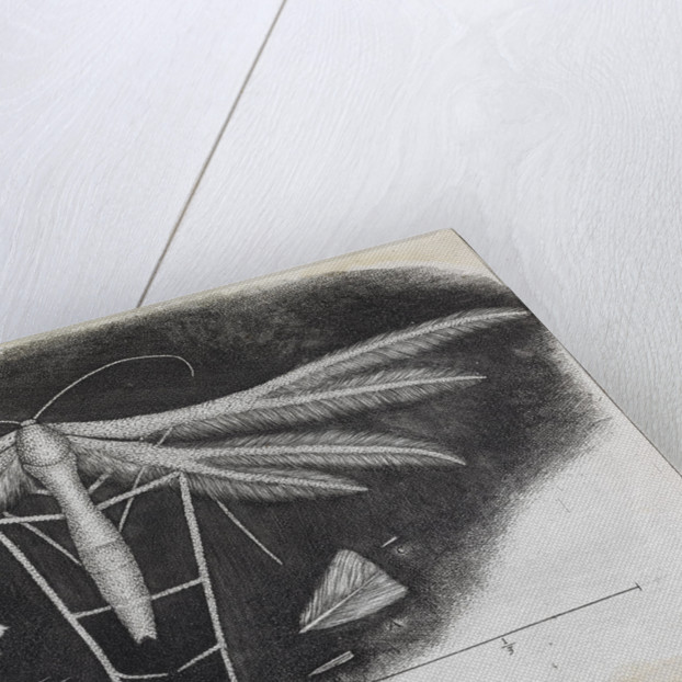 Microscopic view of a white feather-winged moth by Robert Hooke