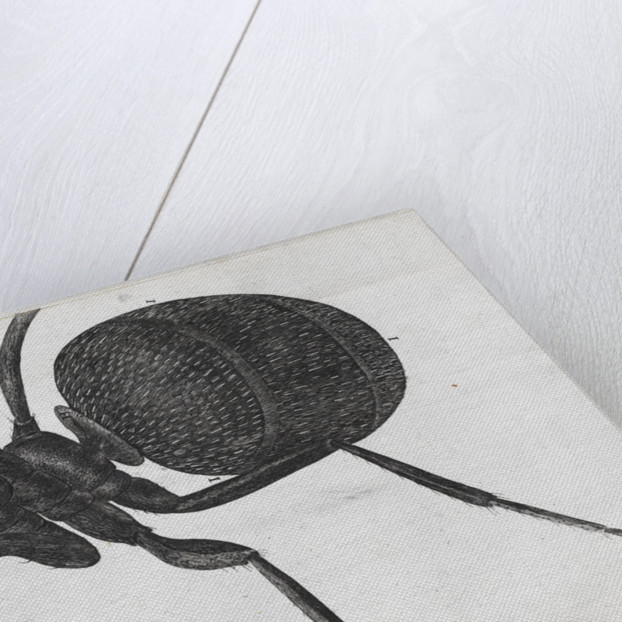 Microscopic view of an ant by Robert Hooke