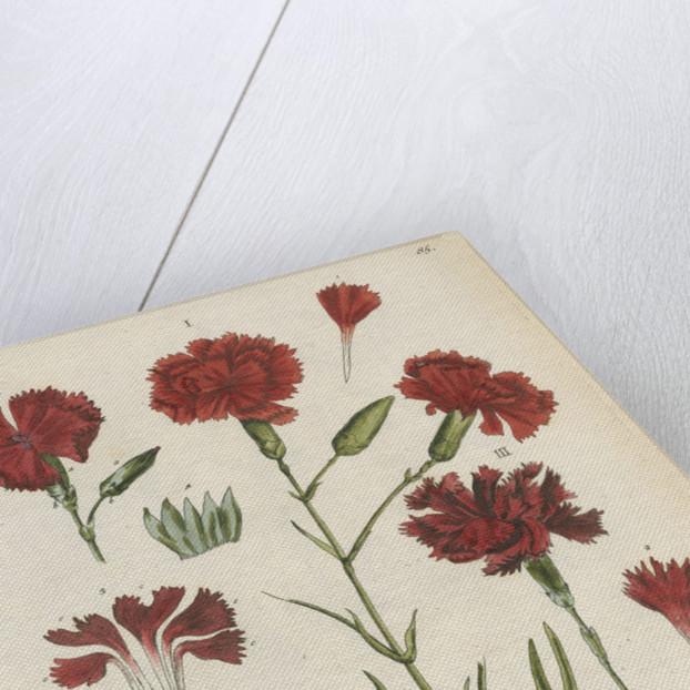 'Caryophyllus ruber' by Elizabeth Blackwell