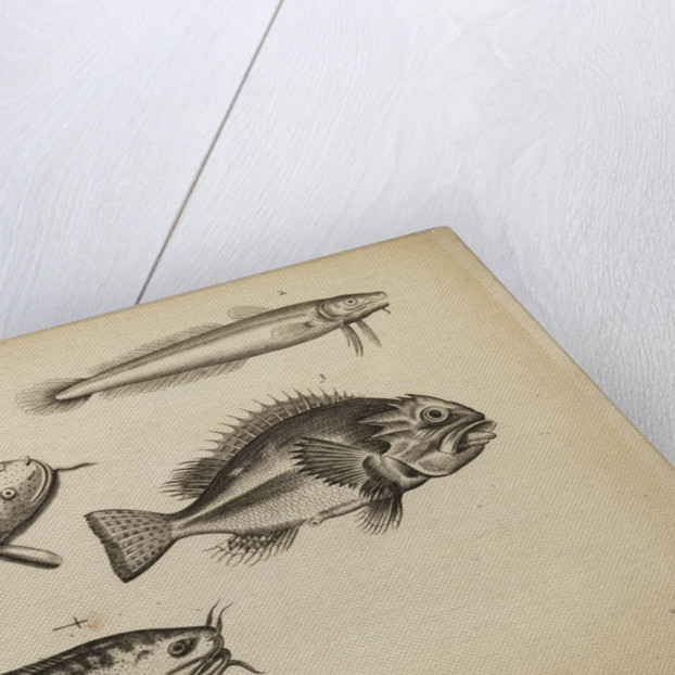 Study of five fish by Anonymous