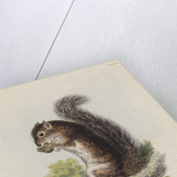 Mexican tree squirrel by Thomas Landseer