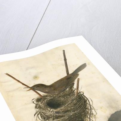 Great Reed Warbler and its nest by Anonymous