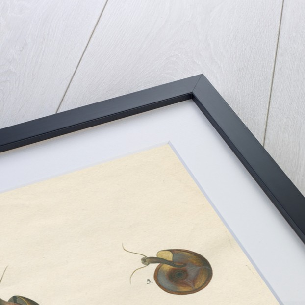 'Nautilus lacustris' by John Agnew