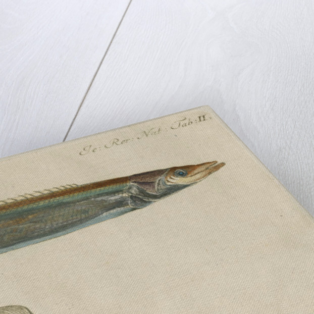 'L'Ammodite' [Lesser sand eel] by Anonymous