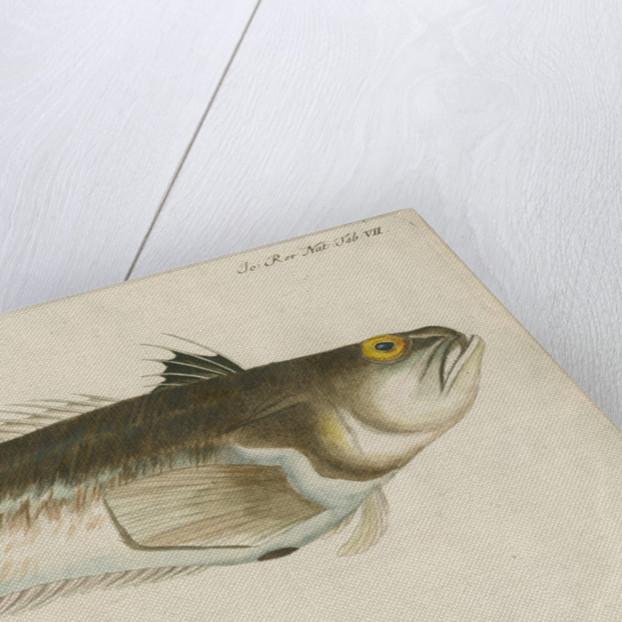 'La Vive, ou Dragon de Mer' [Greater weaver] by Anonymous
