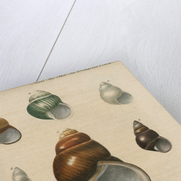 Freshwater snail shells by Peter S Duval