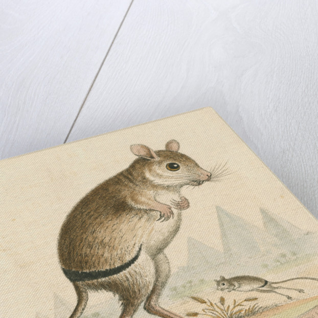 'The Gerbua' [Greater Egyptian jerboa] by George Edwards