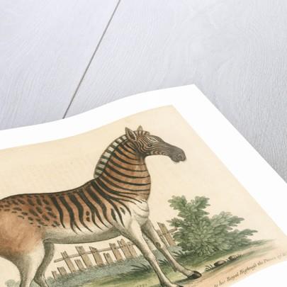 'The female Zebra' by George Edwards