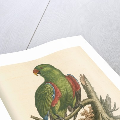 'The Green and Red Parrot from China' by George Edwards