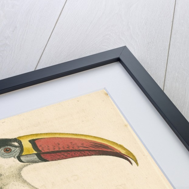 'The Red-beaked Toucan' by George Edwards