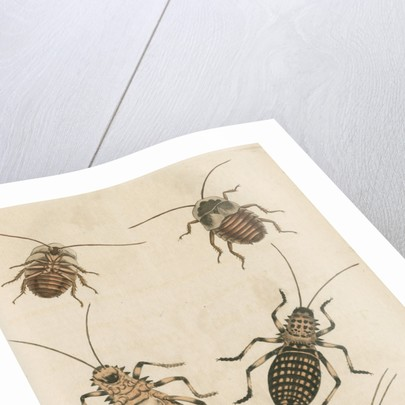 'The Greater Cockroach; and the Whistle Insect' by Cornelius Heinrich Hemerich