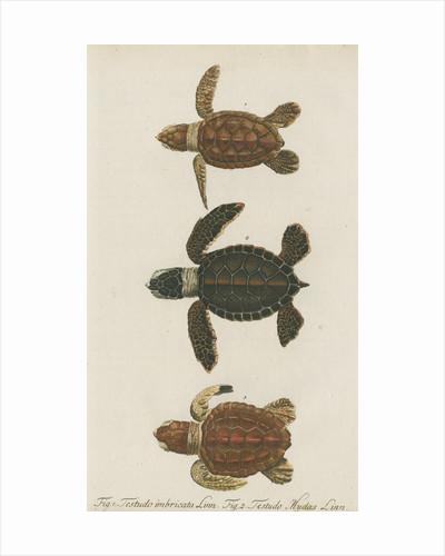 Three specimens of turtles by Friedrich Wilhelm Wunder