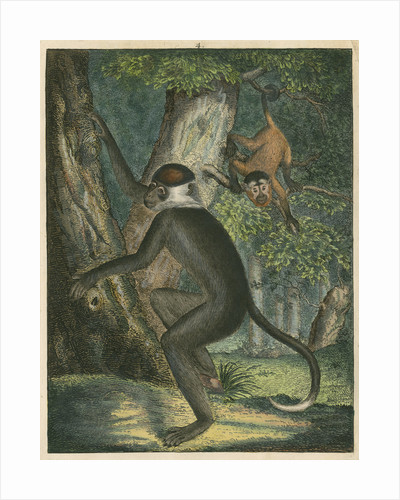 'The White Eye-Lid Monkey' [Mangabey] by James Sowerby