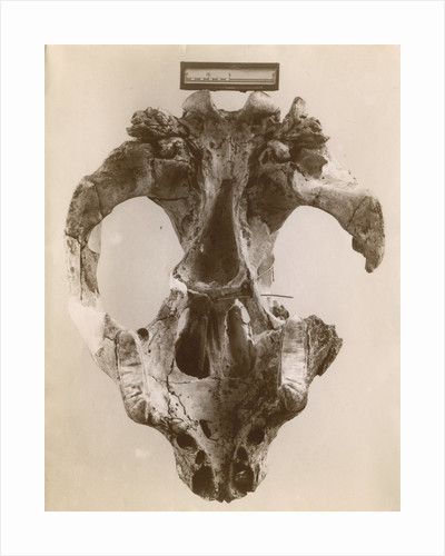 Thylacoleo fossil skull by Anonymous