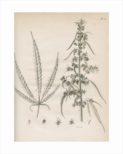Male hemp plant by Richard Reeve
