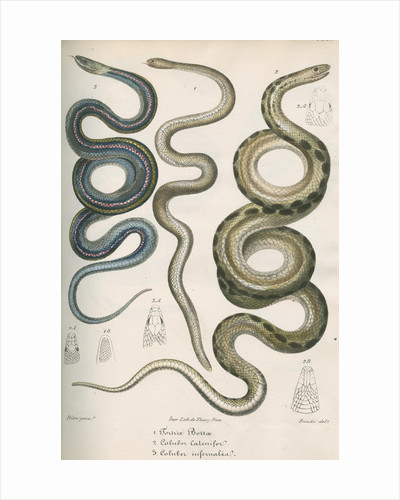 Three snakes of North America by Franke